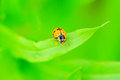Ladybug on green plants with shallow depth of field Stock Photography