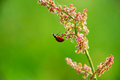 Ladybug hanging from a field flower Royalty Free Stock Photo