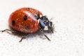 Ladybug after hibernation close up in spring Royalty Free Stock Images