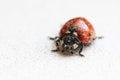 Ladybug after hibernation in spring indoor Stock Image