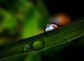 Ladybug inside water drop Royalty Free Stock Photo
