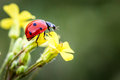 Ladybug lady bug on a flower Stock Image