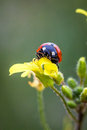 Ladybug lady bug on a flower Royalty Free Stock Image