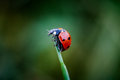 Ladybug lady bug holding on a blade of grass Stock Photos