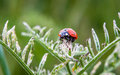 Ladybug lady bug on a plant Royalty Free Stock Photos