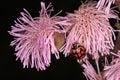 Ladybug ladybugs on the flower of the invading pompom weed Stock Photography