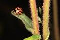 Ladybug ladybugs on the leaf of the invading pompom weed Stock Image