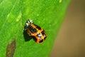 Ladybug larva holland park london Royalty Free Stock Photo