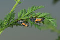 Ladybug larvae Royalty Free Stock Photo