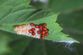 Ladybug larvae and eggs of the shell on leaf Royalty Free Stock Photography