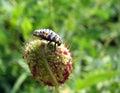 Ladybug larvae on a poppy flower Royalty Free Stock Photo