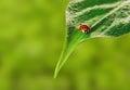 Ladybug on leaf Royalty Free Stock Photo