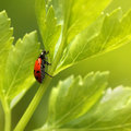 Ladybug on parsley grass. Royalty Free Stock Photos