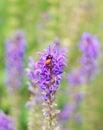 Ladybug on the purple flower Stock Photo