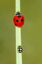 Ladybug a red scientific name coccinella septempunctata and a black are on the grass leaf Royalty Free Stock Photo