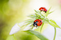 Ladybug resting on flower, Royalty Free Stock Photo