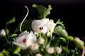 Ladybug on a rose Royalty Free Stock Photo