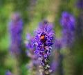 Ladybug s dinner on the beautiful purple field Royalty Free Stock Photos