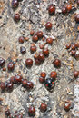 Ladybug and scale insects a black in many Royalty Free Stock Photography