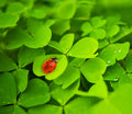 Ladybug sitting on clover leaf Royalty Free Stock Images