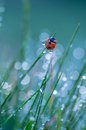Ladybug sitting on grass covered with morning dew Royalty Free Stock Photography