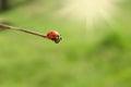 Ladybug on stick whith bright sunny rays Royalty Free Stock Photography