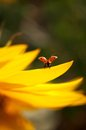 Ladybug on sunflower Royalty Free Stock Photography