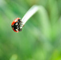 Ladybug on the tip of grass Royalty Free Stock Images