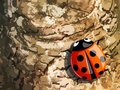 Ladybug on tree trunk Stock Images