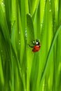Ladybug on wet sparkling grass Stock Image
