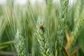Ladybug on wheat Royalty Free Stock Photo