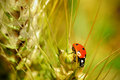 Ladybug on wheat stalk sitting Stock Photos