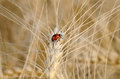 Ladybug on the wheat stalk of wheat in summer day Royalty Free Stock Image
