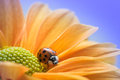 Ladybug on Yellow Daisy Royalty Free Stock Photo
