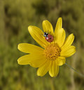 Ladybug on Yellow flower Stock Photos