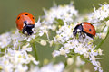 Ladybugs in flowers Royalty Free Stock Photo