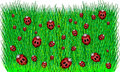 Ladybugs in Green Grass Stock Photos
