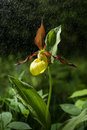 Ladys Slipper Orchid flower bloom in the rain. Yellow with red petals blooming blossom in natural environment. Cypripedium calceo Royalty Free Stock Photo