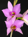 Laelia anceps Royalty Free Stock Photo
