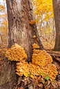 Laetiporus sulphureus sulfur shelf shroom on oak mushroom or chicken of the woods big cluster growing dying tree in fall forest Stock Photography