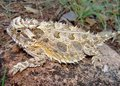 Lagarto de cuernos de Tejas o sapo córneo Imagen de archivo