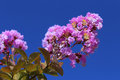 Lagerstroemia Stock Photo