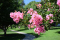 Lagerstroemia, commonly known as crape myrtle or crepe myrtle. Royalty Free Stock Photo