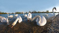 Lago swans Immagine Stock