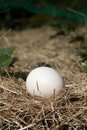 Laid Egg Stock Image