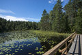 Lake with aquatic plants panoramic view of a in finland covered by Royalty Free Stock Images