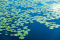 Lake covered in lily pods Royalty Free Stock Image