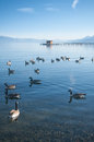 Lake ducks swiming in the late afternoon Royalty Free Stock Images