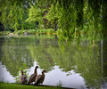 Lake with ducks and weeping willow tree Stock Photos