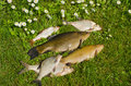 Lake fishes tench, bream, roach catch green grass Royalty Free Stock Photo